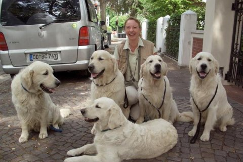 8 Golden Retriever